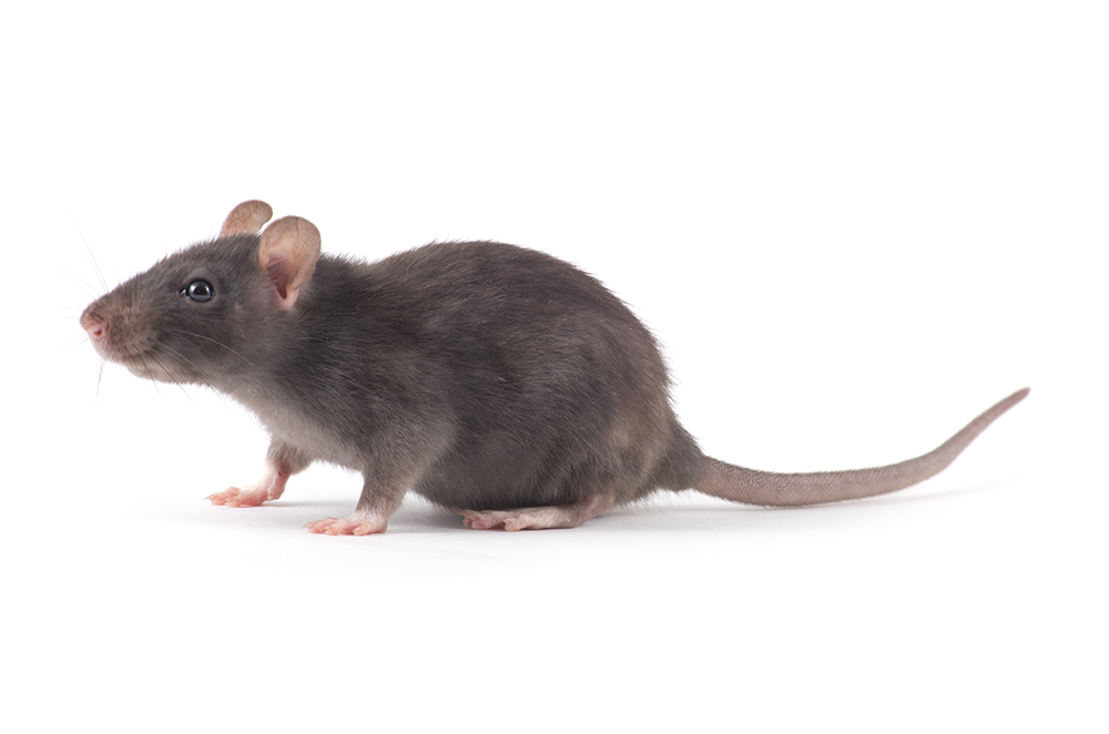 Rodent Pest Control And Rodent Pest Control Monitoring